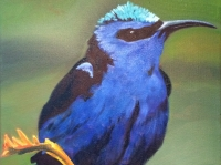 Red Footed Honeycreeper 12 x 12 $300